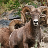 Bighorn Sheep on the Snake River
