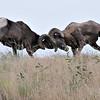 Bighorn Rams, Snake River