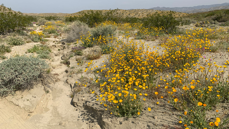 Creosote Bush and Desert Sunflower