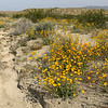 Creosote Bush and Desert Sunflower