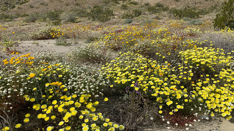 Fremont's Pincushion, Desert Sunflower, Desert Dandelion,
