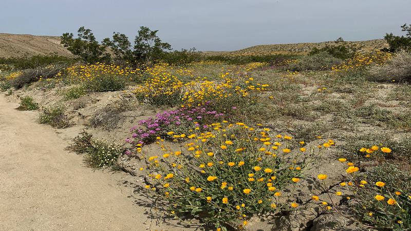 Creosote Bush, Desert Sunflowers, Desert Chicory, Desert Dandelions Desert Sand Verbena