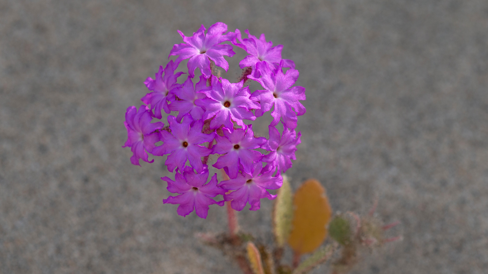 Desert Sand-Verbena