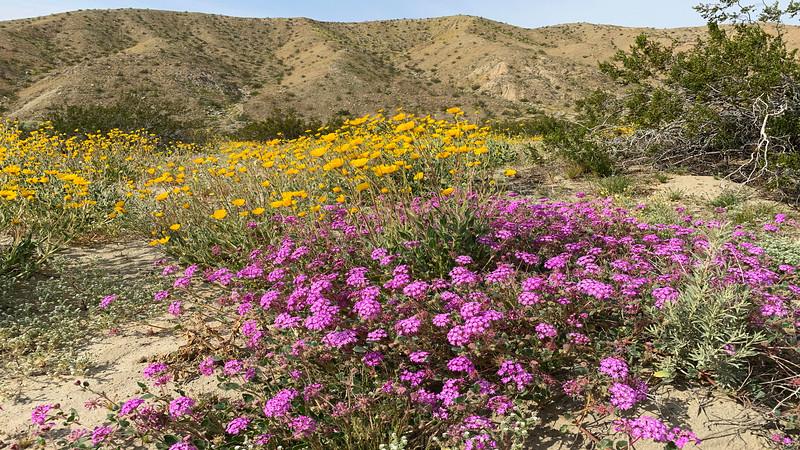 Desert Sunflower, Desert Sand Verbena and Creosote Bush