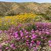 Desert Sunflower, Desert Sand Verbena and Creosote Bush