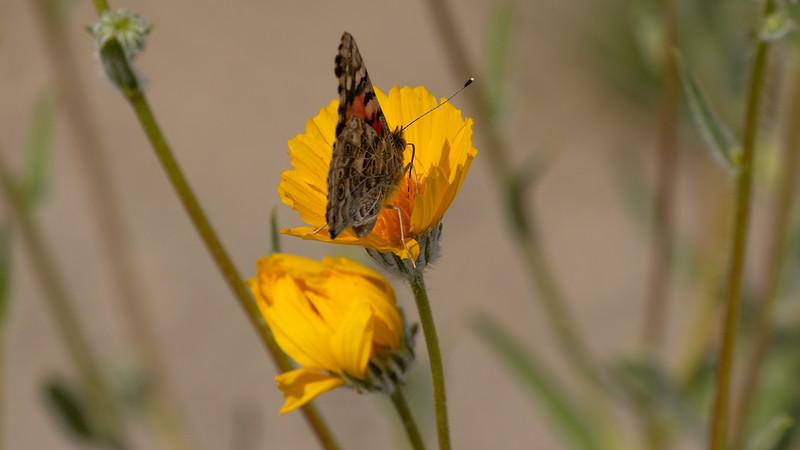 Painted Lady on Desert Sunflower