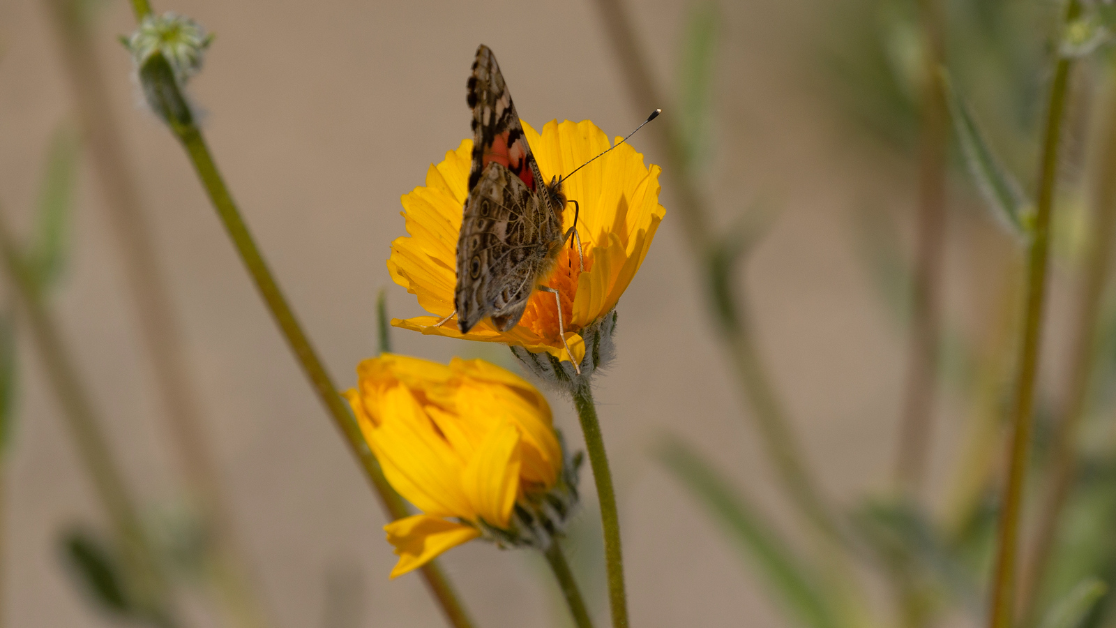 Painted Lady on Desert Sunflower