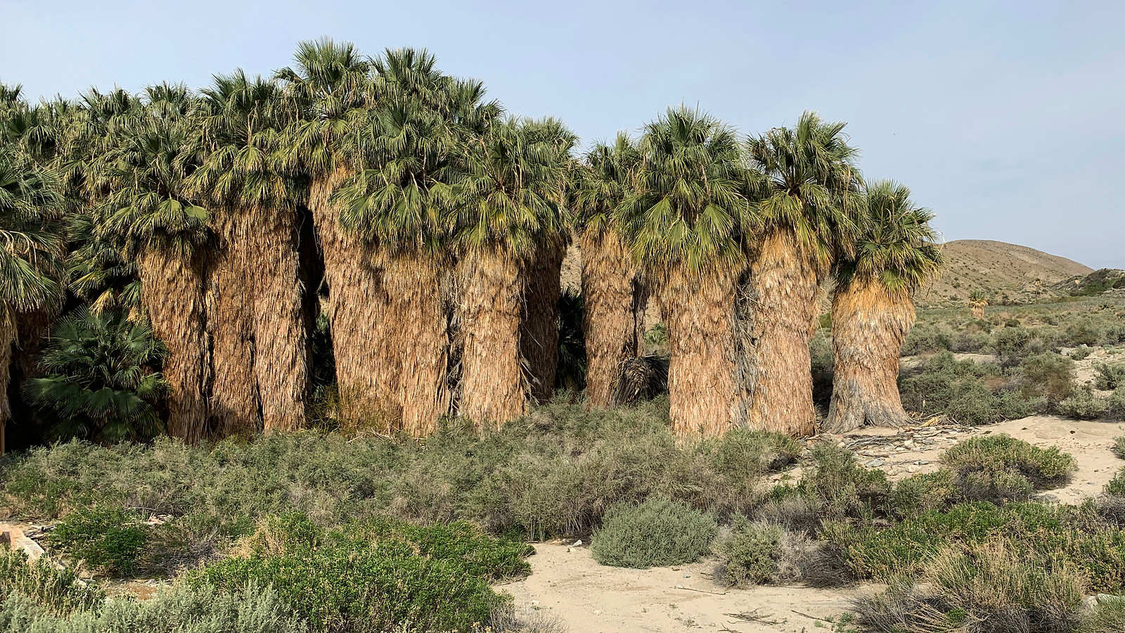 Desert Fan Palms