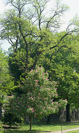 Here is a wider photo of our enormous Black Locust. In front is a Red Horsechestnut, a cross between a Red Buckeye and its European cousin, the Horsechestnut.