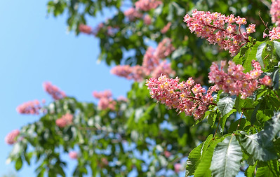 The Red Horsechestnut's flowers are actually pink 10 inch long clusters. This photo was taken May 16, 2013.