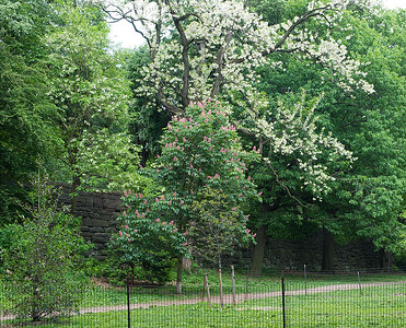 Black Locust in back and Red Horsechestnut in front, both in full bloom. Beautiful. Photo taken May 25, 2015.