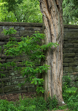 Homesteaders planted Black Locust Trees like this one away from their houses to act as a sort of lightning rod. In a storm, rain runs down the deep furrows of the Black Locust bark and the water attracts lightning. This beauty is just below the Olmstead wall in Riverside Park near 100th Street.