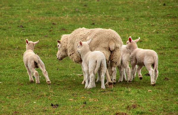 The Unwelcome Lamb