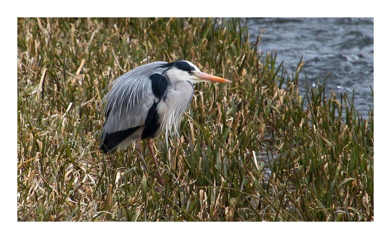 Persley Heron
