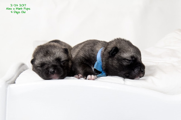 2017-02-27 4 day old & 7 day old puppy pics