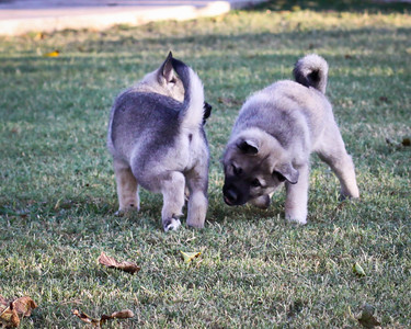 """My husband always comments about the """"ankle biting"""" that goes on between our elkhounds.  I had to laugh when I saw this picture and called him to come look that the ankle biting starts very early with elkhounds."""