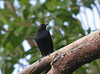 Black Catbird at the Muyil Ruins