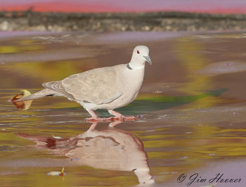 Eurasian Collared-Dove<br /> Playacar