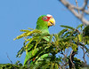 White-fronted Parrot at the resort