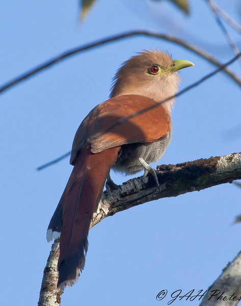 Squirrel Cuckoo at Coba ruins