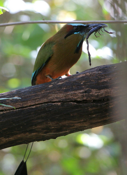 Though not a particularly good photo, I thought it was interesting shot of a Motmot with a scorpion for breakfast.