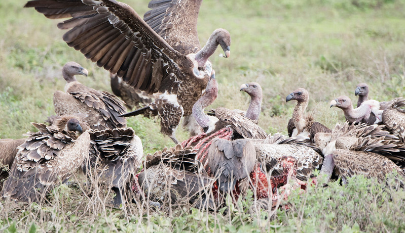 Rueppell's Griffons & White-backed Vultures at a Zebra Kill