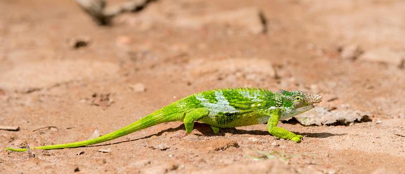 Usambara Two-horned Chameleon