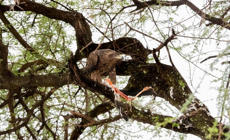 Tawny Eagle with Stork Kill