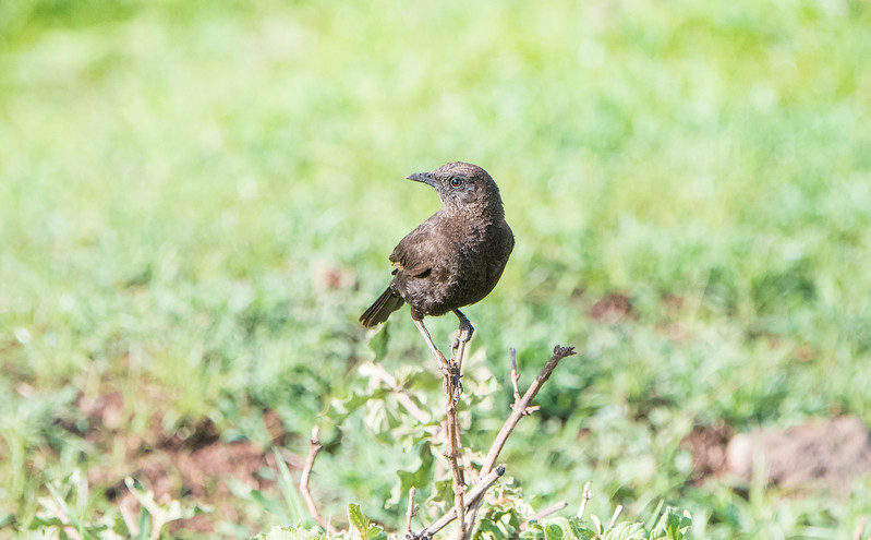 Northern Anteater-Chat