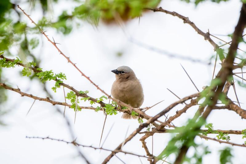 Gray-headed Social Weaver