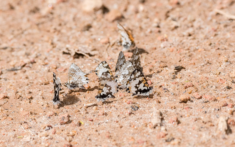 Lowland Branded Blue (Uranothauma falkensteini) Butterflies
