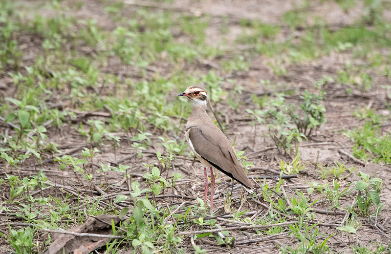 Violet-tipped Courser