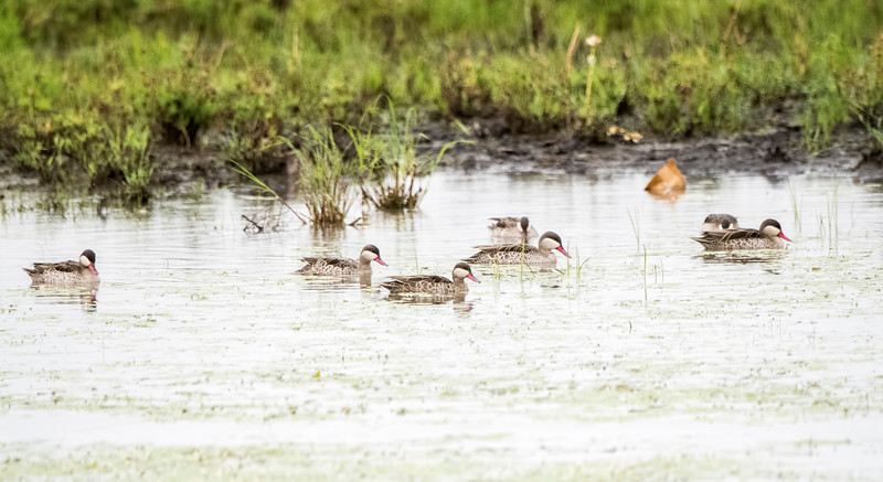 Red-billed Ducks