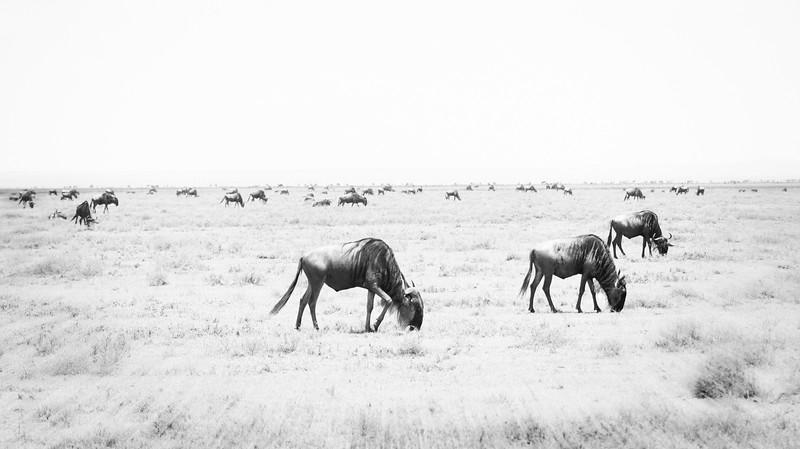 Wildebeest on the Serengeti