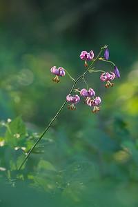 Lilia złotogłów, Lilium martagon, 002