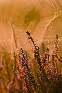 Wrzos, Calluna vulgaris, 001
