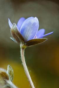 Przylaszczka pospolita, Hepatica nobilis, 002