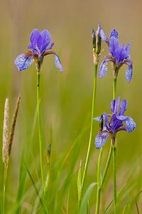 Kosaciec syberyjski, Iris siribica, 001