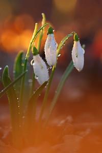 Śnieżyczka przebiśnieg, Galanthus nivalis, 001