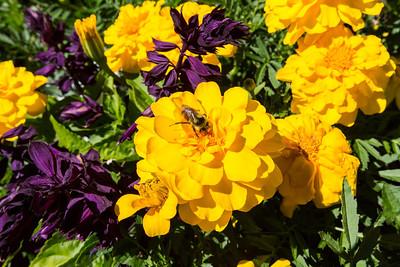Marigold (Calendula officinalis) (yellow) and Mealycup Sage (Salvia) (purple). Sunken Garden. Butchart Gardens - Brentwood Bay, BC, Canada