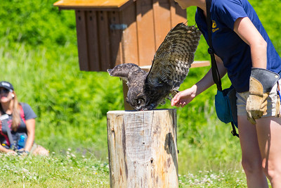 Darwin the Great Horned Owl (Bubo virginianus). Grouse Mountain - North Vancouver, BC, Canada