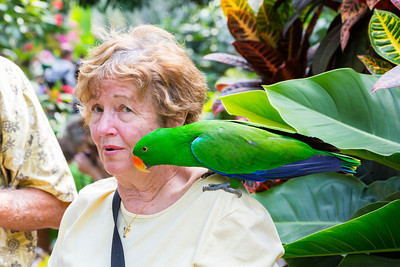 Eclectus Parrot (Eclectus roratus) on a lady's shoulder. Victoria Butterfly Gardens - Central Saanich, BC, Canada