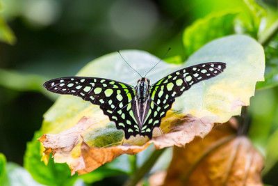 Tailed Jay (Graphium agamemnon). Victoria Butterfly Gardens - Central Saanich, BC, Canada