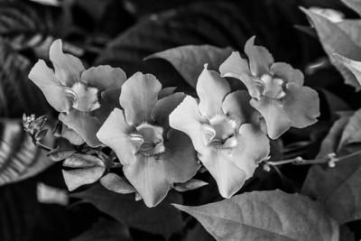 Bengal Clock Vine (Thunbergia grandiflora). Victoria Butterfly Gardens - Central Saanich, BC, Canada