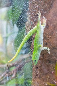 Madagascar Day Gecko (Phelsuma madagascariensis madagascariensis). Victoria Butterfly Gardens - Central Saanich, BC, Canada