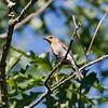 Female bluebird upon return to NC