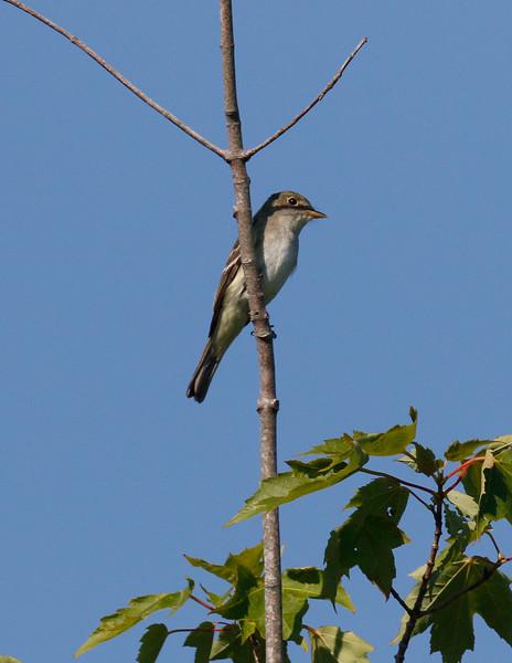 Alder flycatcher at Acadia's Sieur de Monts springs