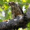 Broad-winged hawk at Mount Desert Island's Blagden Preserve