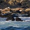 Colorful mix of harbor & grey seals around Acadia