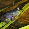 Northern green frog at Acadia's Sieur de Monts springs